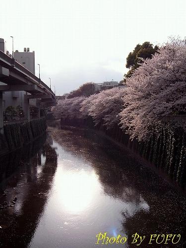 江戸川橋桜1.jpg