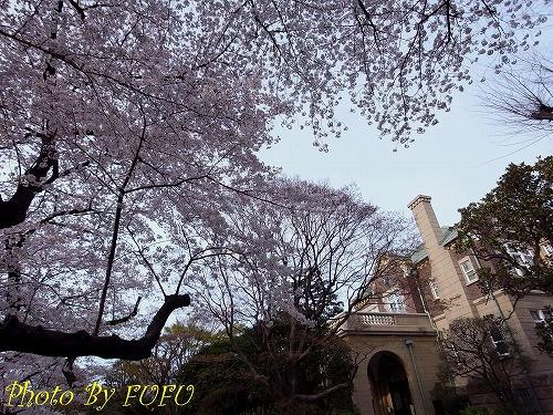 音羽会館桜1.jpg