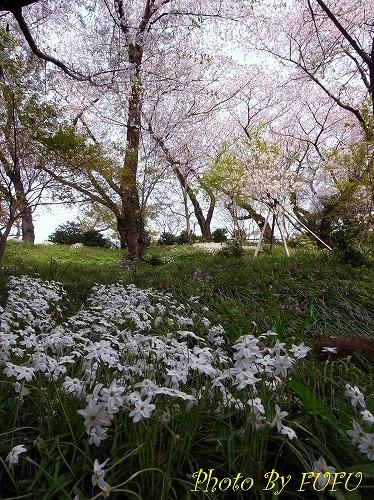 音羽会館桜2.jpg