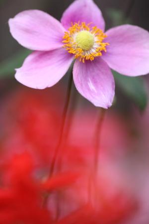 1022秋明菊.JPG