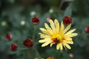 1026黄色菊.JPG