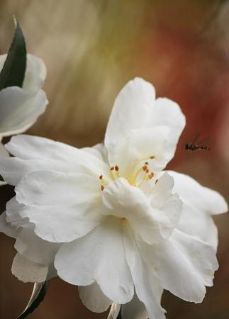 1107山茶花と虫.JPG