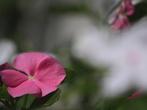 日々草ピンク