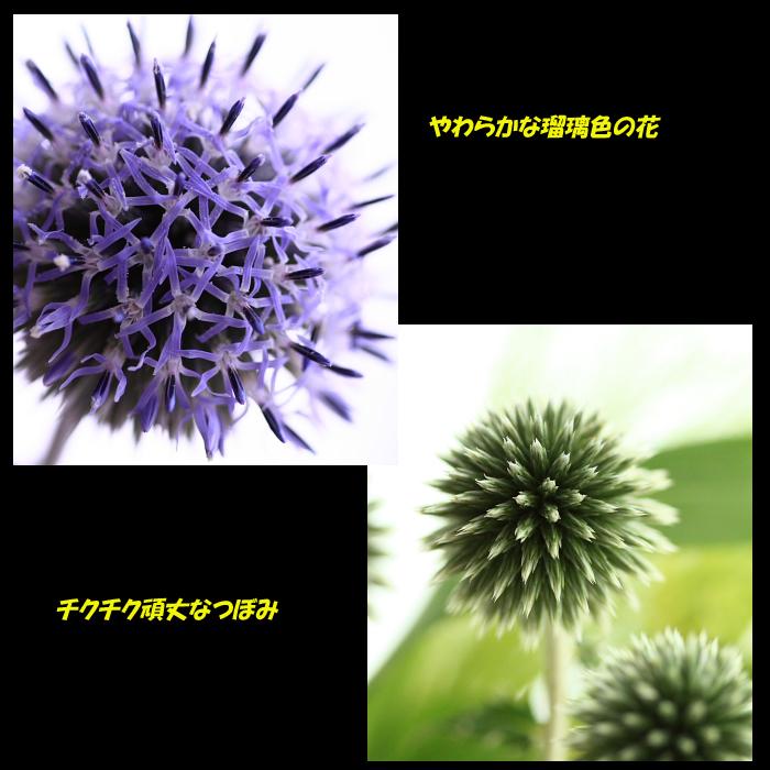 ルリタマアザミ3.jpg