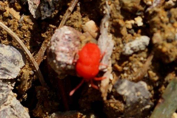 赤い虫.JPG