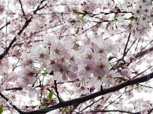 sakura♪.JPG