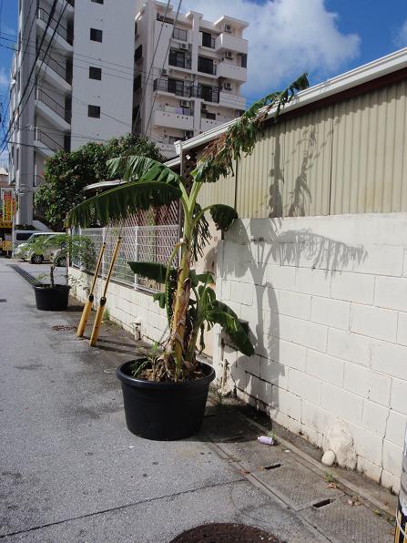 パイナップル鉢植え.JPG