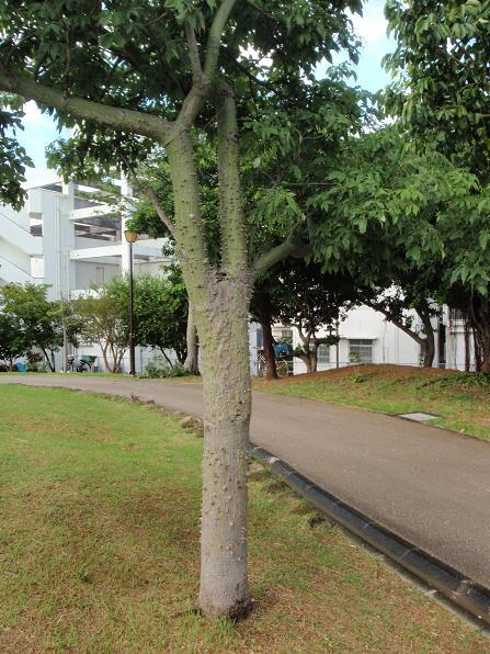 危ない街路樹.JPG