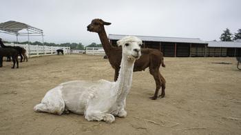 alpaca002.jpg