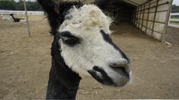 alpaca004.jpg