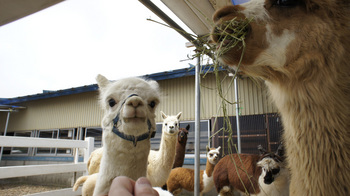 alpaca005.jpg