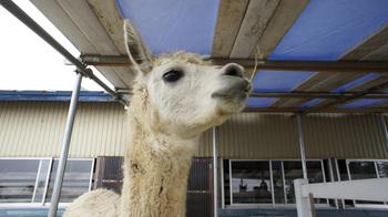 alpaca007.jpg