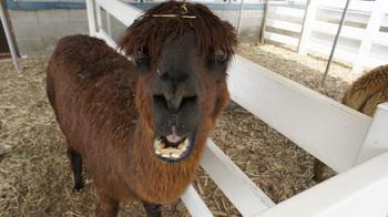alpaca011.jpg