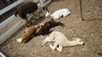 alpaca012.jpg