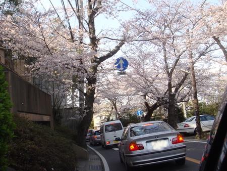 鎌倉桜 鎌倉山.jpg