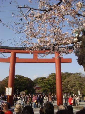 鎌倉桜 鶴八1.jpg
