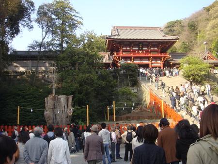 鎌倉桜 鶴八2.jpg