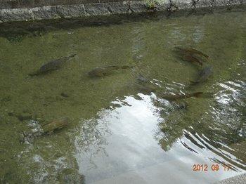 三津川の鯉.jpg