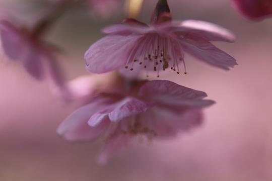 河津の桜.jpg