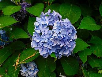 27.紫陽花-1.jpg