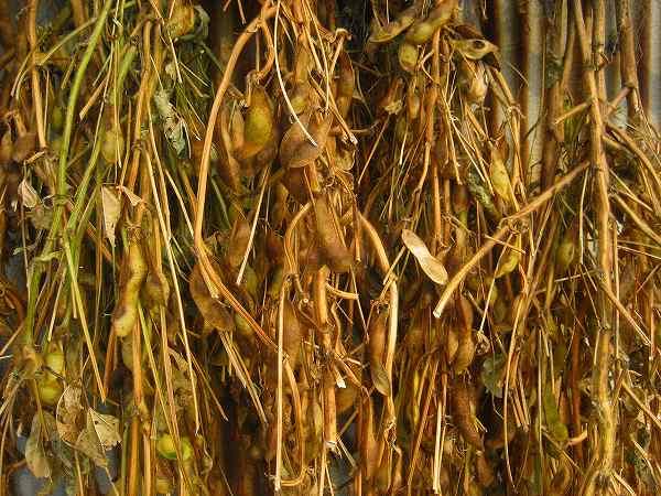 枝豆乾燥中-1.jpg