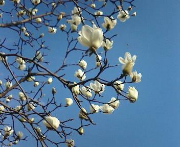 木蘭の画像 p1_29