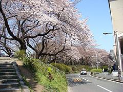 マクロレンズとSTFレンズで桜を撮ってきました。