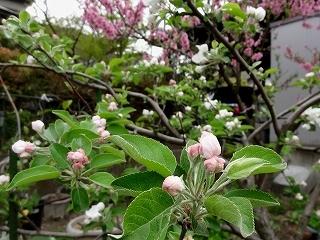 12リンゴ15.jpg
