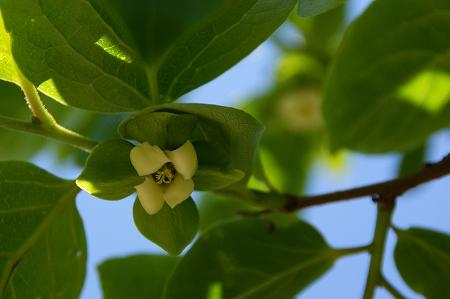 柿の花2.jpg