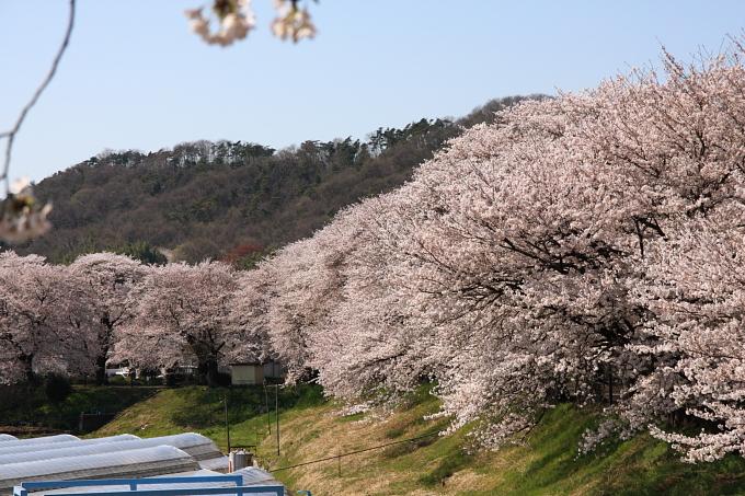 桜2-1.JPG