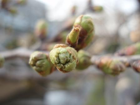 吞川の桜 まだまだこれから