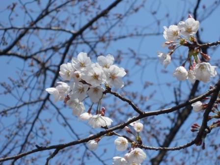 呑川桜3月27日