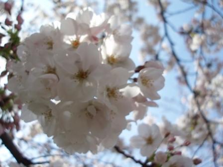 呑川の桜♪
