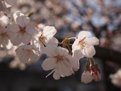 呑川桜2011