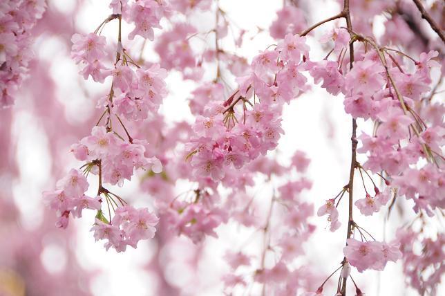 13白山神社枝垂桜.jpg