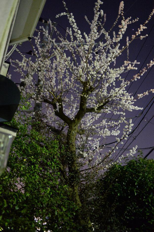1杏の花.jpg