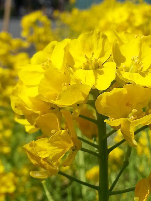 2013.03.15菜の花2.jpg