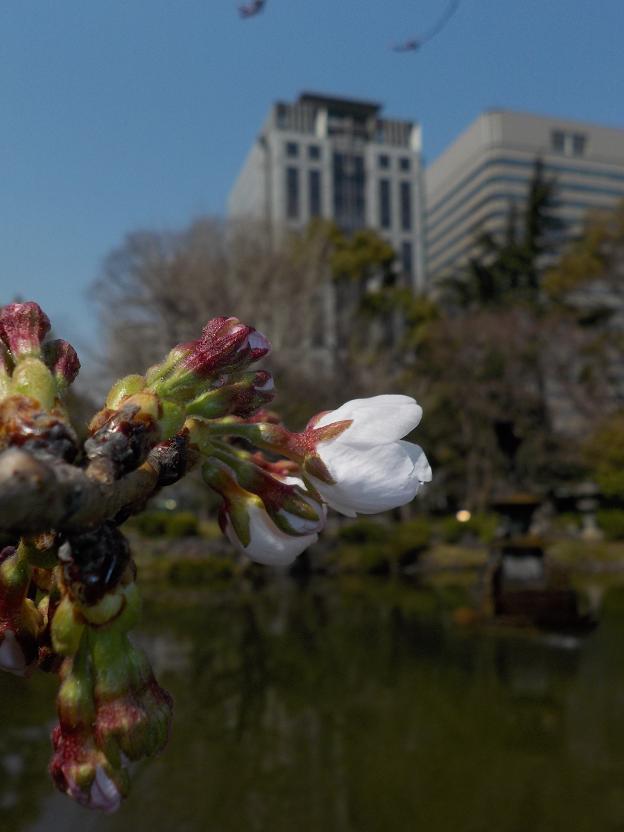 2桜咲く.jpg