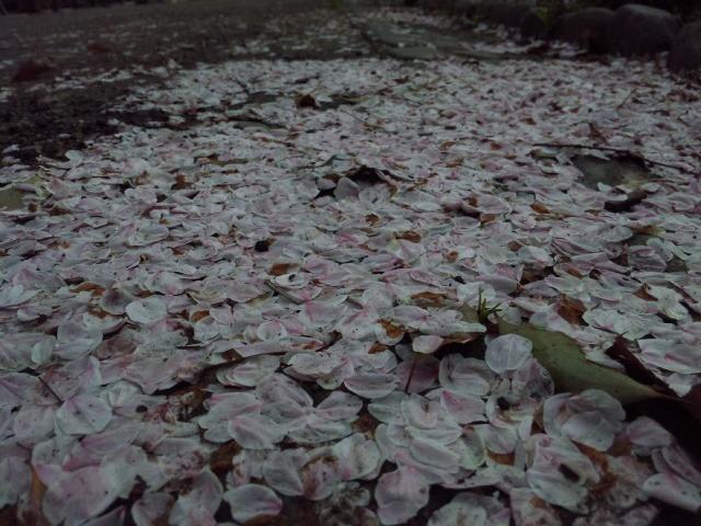 3日比谷公園 桜.jpg