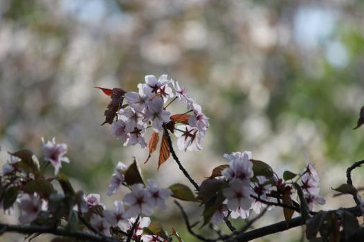 千古園の桜.jpg
