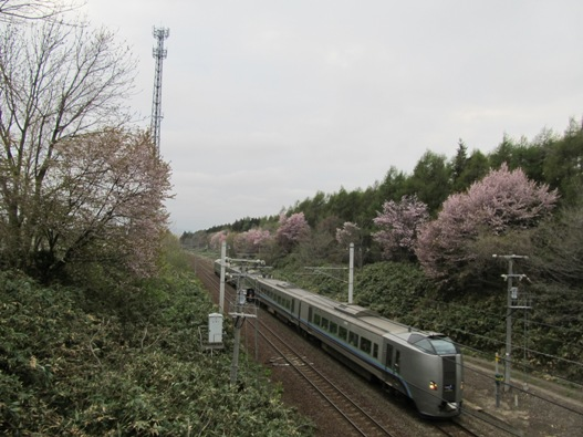 大麻鉄道林の桜11.jpg