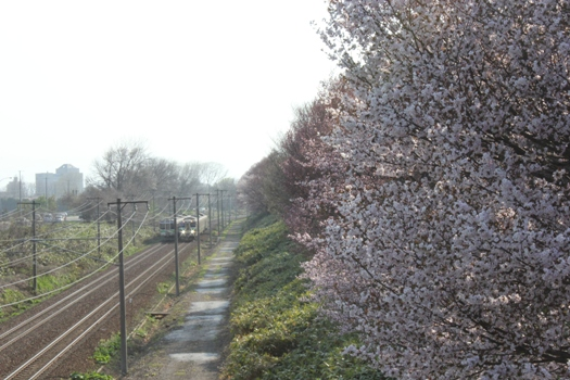 大麻鉄道林の桜と普通列車03.jpg