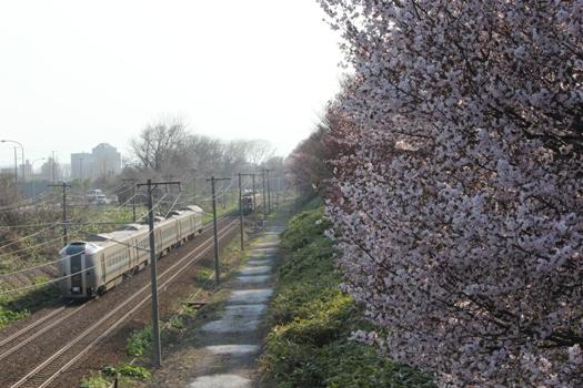 大麻鉄道林の桜と普通列車06.jpg
