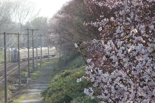大麻鉄道林の桜と普通列車07.jpg