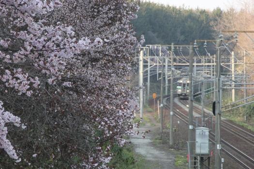 大麻鉄道林の桜と普通列車08.jpg