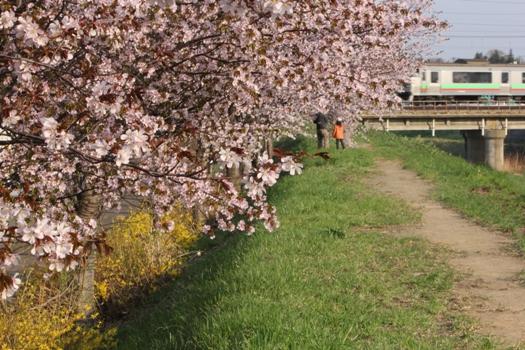 森林公園駅の桜と普通列車00.jpg