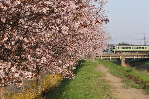 森林公園駅の桜と普通列車01.jpg