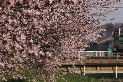 森林公園駅の桜と普通列車02.jpg