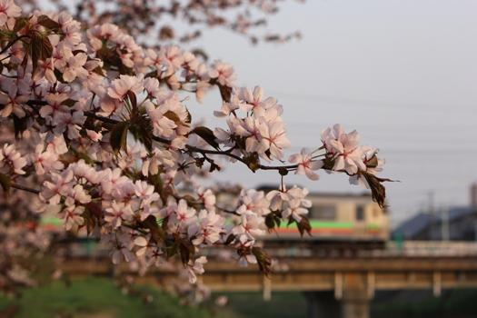 森林公園駅の桜と普通列車03.jpg