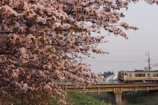 森林公園駅の桜と普通列車04.jpg